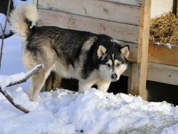 Coyote Cheyenne, chien Malamute de l'Alaska