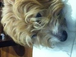 Coyotte, chien