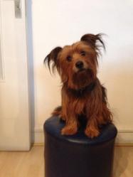 Coyotte, chien Yorkshire Terrier