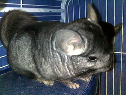Crachouille, rongeur Chinchilla