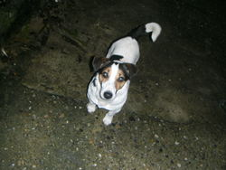 Crack, chien Jack Russell Terrier