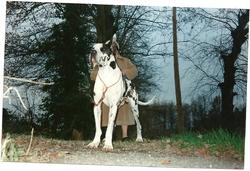 Crack Des Terres De La Rairie, chien Dogue allemand