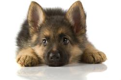 Cracote , chien Berger allemand