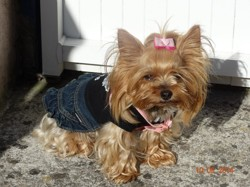 Cracotte, chien Yorkshire Terrier