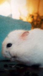 Cracotte, rongeur Hamster