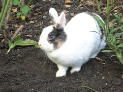 Cracotte, rongeur Lapin