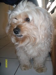 Cracotte, chien Bichon bolonais