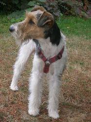 Crakotte, chien Fox-Terrier