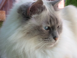 Cramaillotte, chat Birman