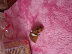 Cramelia, rongeur Hamster
