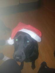Crany, chien Labrador Retriever