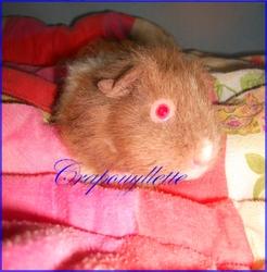 Crapouyllette , rongeur Cochon d'Inde