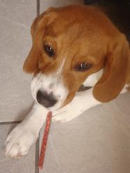 Crapule, chien Beagle