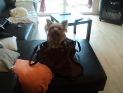 Craquette, chien Yorkshire Terrier