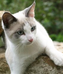 Craquinette, chat Oriental