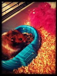 Craquotte, rongeur Hamster