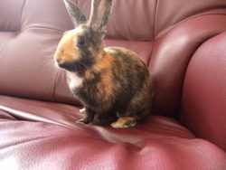 Craquotte, rongeur Lapin