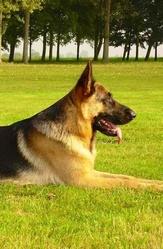 Crash Repose En Paix Petit Ange, chien Berger allemand