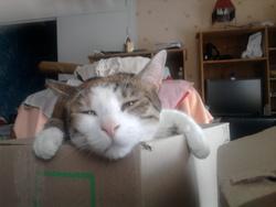 Craspouette, chat Européen
