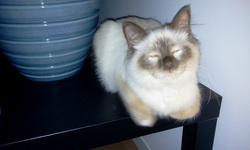 Creame, chat Birman