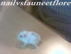 Creme, rongeur Hamster