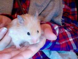 Crème Rip Ma Belle, rongeur Hamster