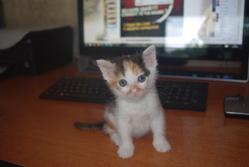 Creole, chat Gouttière