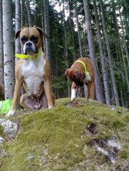 Crésus, chien Boxer