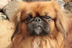 Crésus, chien Pékinois