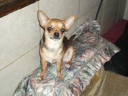Crevette, chien Chihuahua
