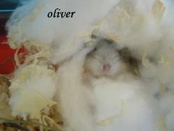 Oliver, rongeur Hamster