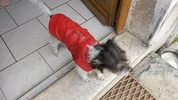 Crevette, chien Jack Russell Terrier