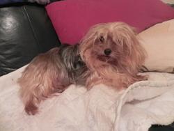 Crevette, chien Yorkshire Terrier
