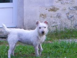 Criquette, chien Parson Russell Terrier