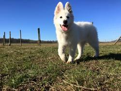 Criska, chien Berger blanc suisse