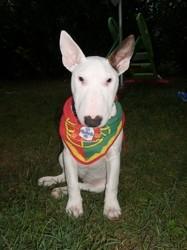 Crispi, chien Bull Terrier