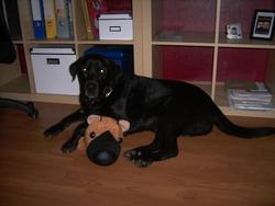 Crispy, chien Labrador Retriever