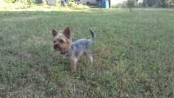 Crispy, chien Yorkshire Terrier