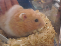 Crispy, rongeur Hamster