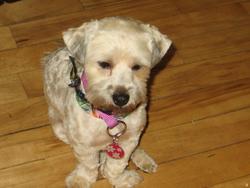 Crissy, chien Caniche