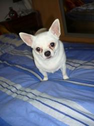 Cristal, chien Chihuahua