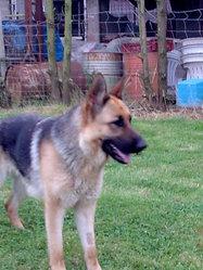 Cristal, chien Berger allemand