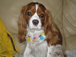 Cristal, chien Cavalier King Charles Spaniel