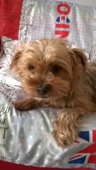Cristal, chien Yorkshire Terrier