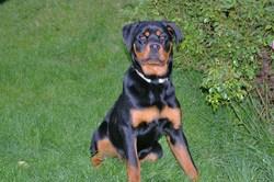 Cristal, chien Rottweiler