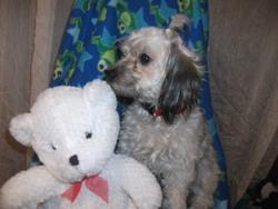 Cristale, chien Yorkshire Terrier