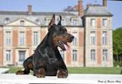 Crocky, chien Dobermann