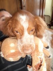 Crocus, chien Épagneul breton