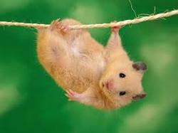 Crominion, rongeur Hamster
