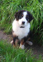 Cronos, chien Berger australien